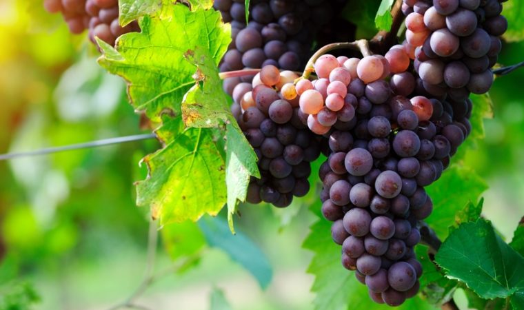 Uva Sicilia